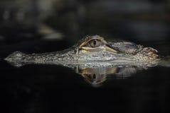 Reflexión del cocodrilo americano Fotografía de archivo