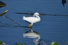 Reflexión del Egret nevado Fotografía de archivo