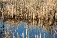 Reflexión del lago de plantas secas Imagenes de archivo