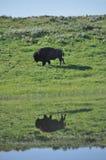 Reflexión del lago del búfalo del bisonte americano de Yellowstone Foto de archivo
