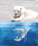 Reflexión del oso polar Fotografía de archivo libre de regalías