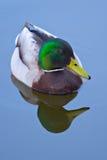 Reflexión del pato silvestre imagenes de archivo