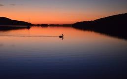 Reflexión del pelícano de la puesta del sol Fotos de archivo libres de regalías