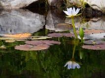 Reflexión hermosa del agua Lilly Fotografía de archivo