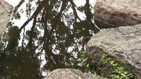 Reflexión móvil de un árbol de arce japonés, en la charca de un jardín japonés ajardinado en Australia metrajes