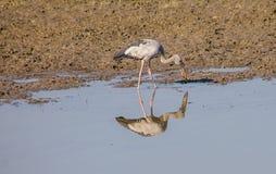 Reflexión negra de los pájaros de la garza en agua Fotografía de archivo