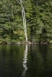 Reflexión ondulada de dos árboles de abedul en agua Fotos de archivo libres de regalías