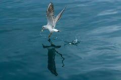 Reflexión perfecta de la gaviota Fotografía de archivo