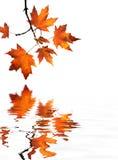 Reflexión roja de las hojas de arce Fotos de archivo