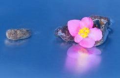 Reflexión rosada de la flor de los lucernae de la begonia Fotografía de archivo