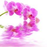 Reflexión rosada del agua de la orquídea Foto de archivo libre de regalías