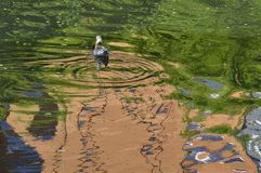 Reflexión sensacional de la gaviota en agua Imágenes de archivo libres de regalías