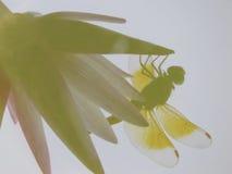 Reflexión del lirio de agua y de la libélula Foto de archivo