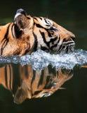 REFLEXIÓN DEL TIGRE MALAYO Fotografía de archivo