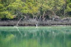 Reflexion av östliga mangrovar i vatten, Abu Dhabi, UAE arkivfoton
