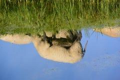 Reflexion av får i vatten Royaltyfria Foton