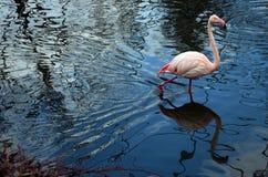 Reflexion av flamingo Arkivfoto