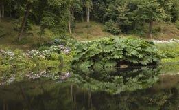 Reflexion av gunneraen och vanliga hortensior i sjön Arkivbild