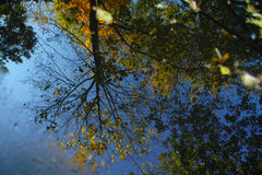 Reflexion av höstträden Arkivbild
