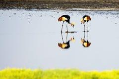 Reflexion av krönade kranar fotografering för bildbyråer