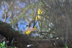 Reflexion av påskliljor i ett damm Arkivfoton