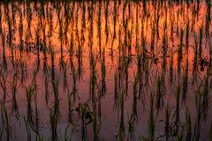Reflexion av solnedgången i en risfält Arkivbild