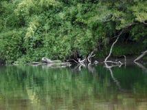 Reflexion av träd i en flod royaltyfria foton