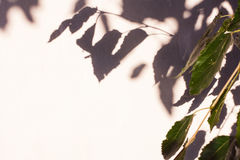 Reflexion of branch on white wall. Reflexion of mulberry branch on white wall Royalty Free Stock Images