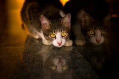 Reflexion der Katze beim Suchen Lebensmittel und nach Licht mit Lizenzfreies Stockbild