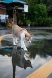 Reflexion der Streukatze auf Wasser Lizenzfreie Stockfotos