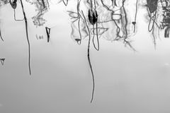 Reflexion des toten Lotos im Wasser stockbilder