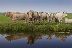 Reflexion des Viehs Stockbilder