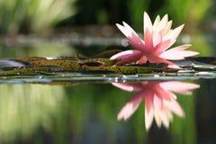 Reflexion einer Seerose lizenzfreie stockfotografie
