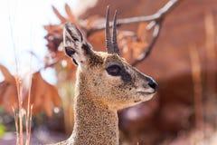 Reflexion i ögat av Klipspringeren Royaltyfri Fotografi
