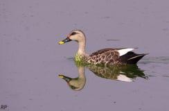 Reflexion i vatten av Duck Teal Royaltyfri Bild