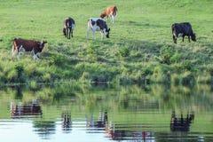 Reflexion im Fluss von Kühen auf Wiese Lizenzfreie Stockfotografie