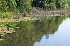 Reflexion von Bäumen im Wasser, Schilfe, See Lizenzfreies Stockbild