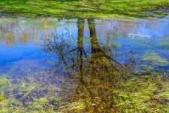 Reflexion von Frühlingsbäumen mit dem Blühen knospt im See und im grünen Gras auf der Bank Stockbild