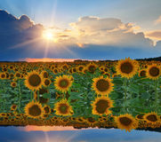 Reflexion von Sonnenblumen und von Himmel im Wasser Stockfoto