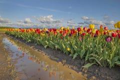 Reflexion von Tulpen Lizenzfreies Stockfoto