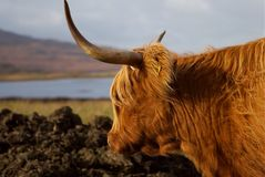 Reflexione sobre la vaca de la montaña Fotografía de archivo