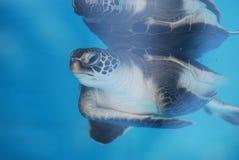 Reflexioner av en behandla som ett barnhavssköldpadda fotografering för bildbyråer