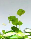 Reflexioner av lotusblomma Royaltyfria Foton