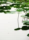 Reflexioner av lotusblomma Arkivbild
