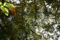 Reflexioner av trädmarkisen på en pöl av vatten i Florida Royaltyfri Foto