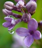 Reflexioner för droppe för regn för blomningar för makroCloseupvår lila arkivfoton