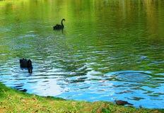 Reflexioner för svart svan på vatten Arkivbild