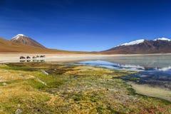 Reflexioner Laguna Blanca, Altiplano, Bolivia Royaltyfri Foto