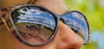 Reflexiones de dos caballos en los vidrios de una mujer joven Fotografía de archivo libre de regalías