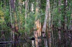 Reflexiones de la puesta del sol de los troncos de árbol de abedul de la inundación Fotos de archivo libres de regalías